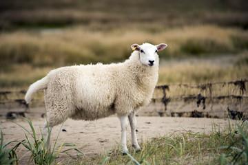 Tuinposter Schapen Sheep on Danish beach