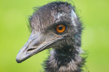 Ostrich portrait on a green background