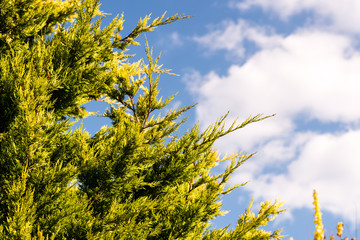 Green tree against blue sky with clouds