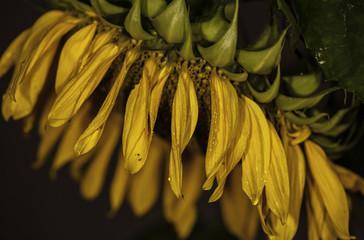 Wall Mural - kwiat słonecznik w deszczu
