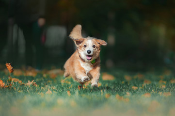 Dog runs through autumn leaves in autumnal sunlight