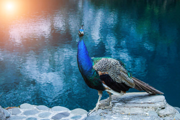 Beautiful peacock in profile against the blue lake