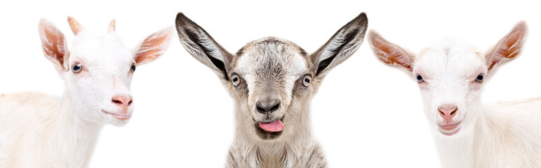 Portrait of a three funny goat, closeup, isolated on a white background