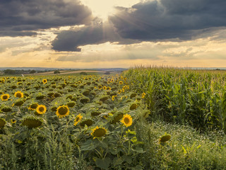 Sunflowers beside corn.
