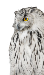 Fototapete - big grey eagle-owl isolated on white
