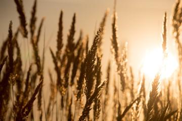 Fototapeta dry grass on the golden sunset as background