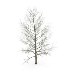 large poplar tree without leaves. Isolated over white. 3D illustration