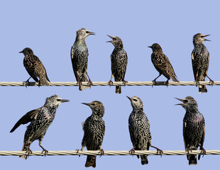 Common starlings on electrical wire unusual view. Different emotions