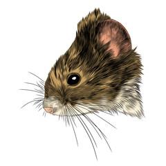 mouse vole head sketch vector graphics color picture