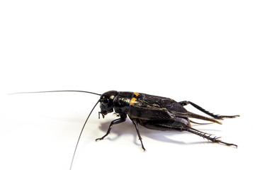 Common black cricket , isolated insect on white background