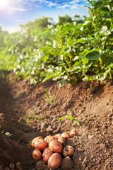 Potato harvest.Picked potato on the ground.