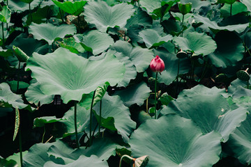 High angle view of lotus bud amidst leaves