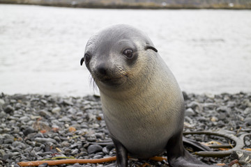 Portrait of seal pup at South Georgia Island