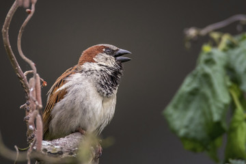 Close-up of sparrow perching on branch