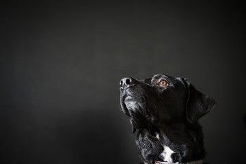 Low angle view of dog looking away against black background