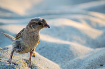 Portrait of curious sparrow on the sand