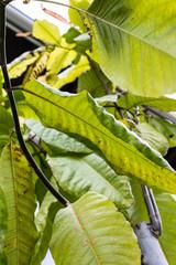 leaf leaves of triplaris polygonaceae surinamensis long john mulat tree from surinam