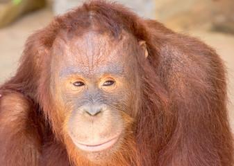 Foto op Aluminium Aap Orangutan can express its emotions in the face.