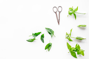 Harvest medicinal herb. Leaves and sciccors on white background top view copyspace