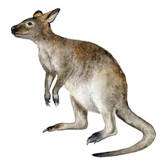 Realistic kangaroo isolated on white background. Australia Day. Watercolor. Illustration. Clipart. Australia Day