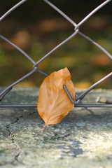 close photo of fallen leaf of beech tree stuck in the fence