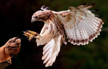 Landing hawk Wall mural