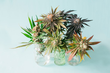 group of marijuana plant cuttings on pastel blue background