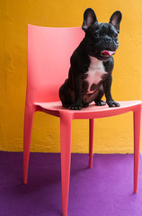 French Bulldog Portraits