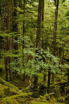 Lush Alaskan Rainforest. A small tree grows below a forest canopy on an island in the Alaskan wilderness near Sitka.