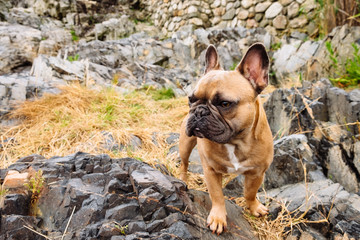 A brown french bulldog puppy at a rocky and overcast New England beach coast
