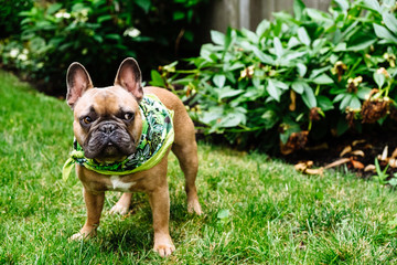 A brown french bulldog puppy outside standing in the grass outside.