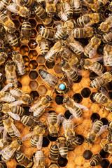 Queen bee and worker bees on honeycomb