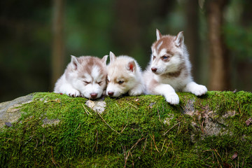 Troop of husky puppies