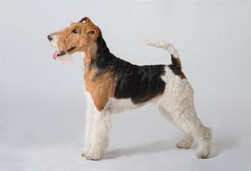 fox terrier dog Wall mural