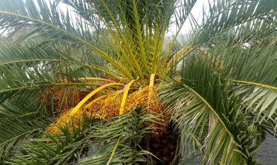 Date Palm / Phoenix Dactylifera with fruits