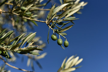 Green Olive on a Branch with Leaves over a blue sky