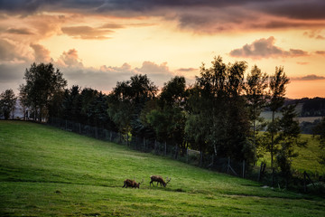 Hirsche auf der Wiese im Sonnenuntergang