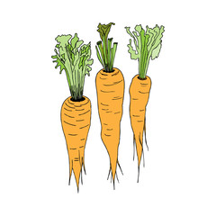 Carrots. Vector illustration. Hand drawing style