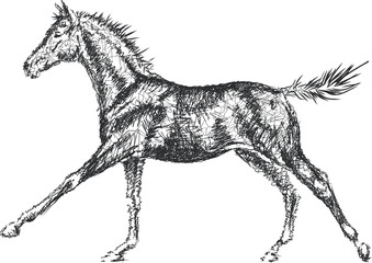 A sketch of a young horse.