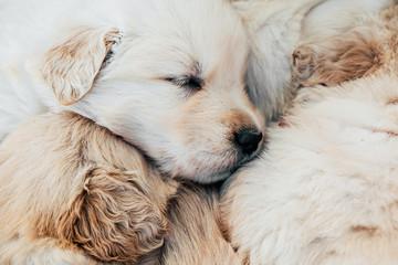 Beautiful american golden retriever puppies