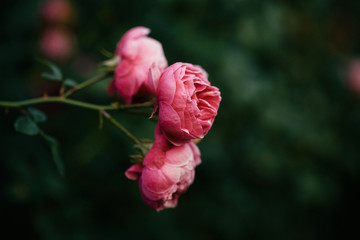 pink roses in a garden