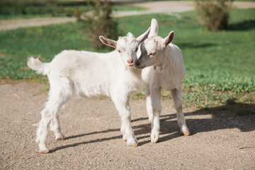 Pair of White Baby Goats