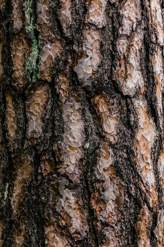 Pine tree trunk with bark closeup