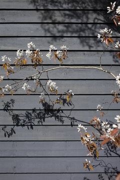 Spring blossom in front of wall