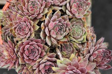 Close up of Succulent Plant