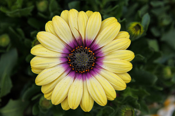 Close up of bright yellow Daisy with purple center