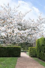 Tree in full blossom in springtime.