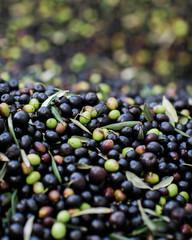 Olives during harvest