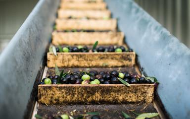 Olives on a conveyer belt