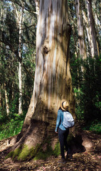 Woman looks up at a very large eucalyptus tree.